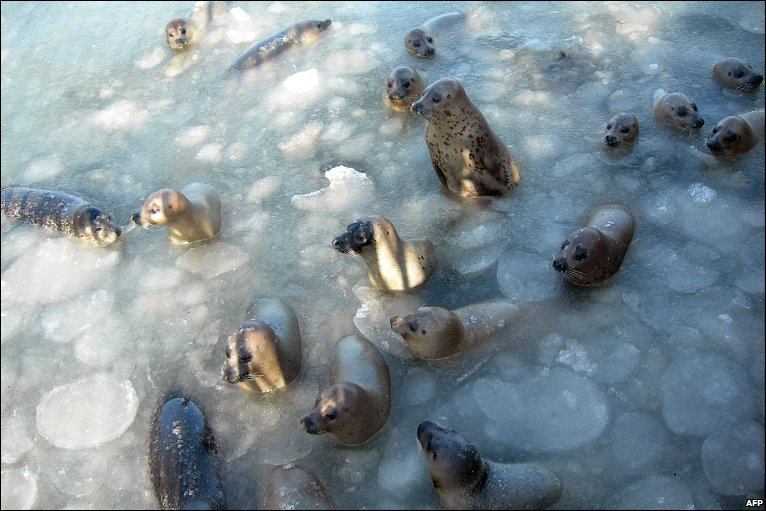 A group of seals try to break free after they were frozen in a pool at a nature reserve in Yantai, in north-east China, as more cold weather is expected in the area this week.