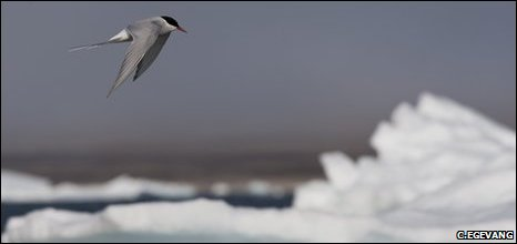 Arctic tern (Carsten Egevang)