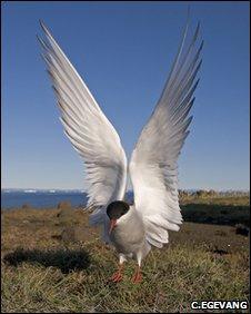 Arctic tern (Carsten Egevang)