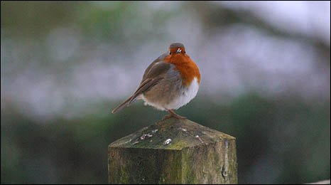 Image of a robin on a post with snow on his beak - by Melanie Felton