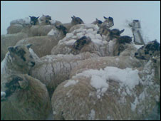 Sheep at a farm in  Rutland