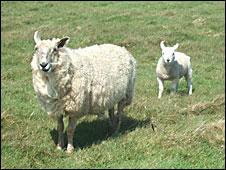 Lundy Lamb