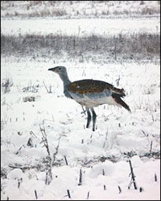 Great Bustard, Salisbury Plain