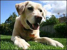 Labrador (BBC)