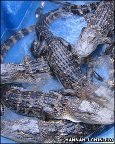small alligators