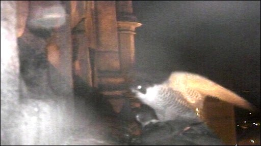 Peregrine hunting at night
