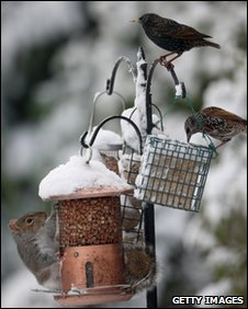 A squirrel shares a bird feeder with some birds