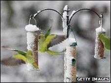 Parakeets feeding on snow covered bird feeders
