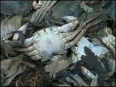 Dead crabs