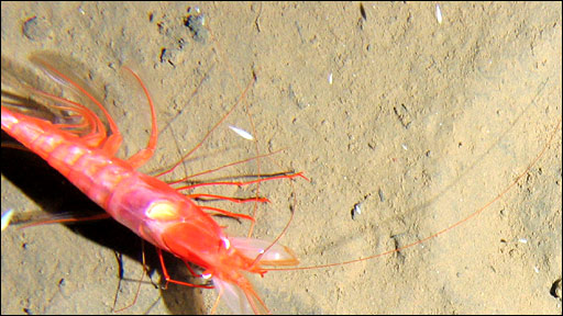 Decapod at 6,000m in the Kermadec Trench