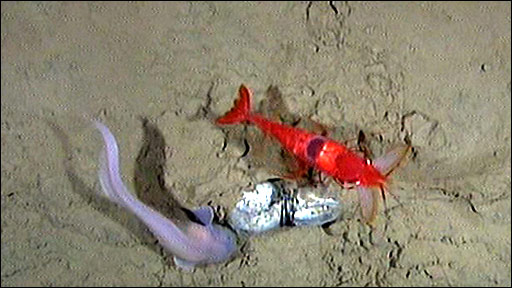 Snail fish and decapod at 7,000m in the Kermadec Trench