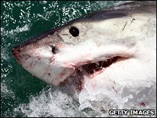 Great white shark in South Africa (file photo)