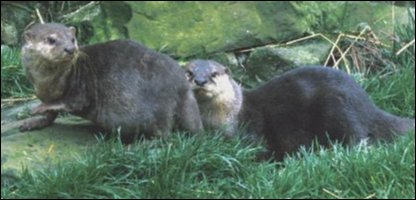 pair of otters [generic]