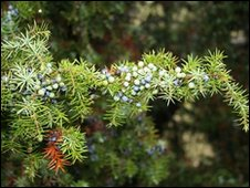 Juniper berries on a bush at Porton Down