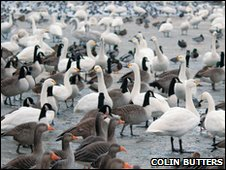 Swans and geese on a frozen  lake