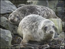 Grey seals (generic)