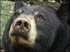 Black bear Lily