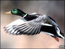 ...регионах Сибири обнаружены дикие птицы, переболевшие птичьим гриппом.