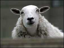 dolly the sheep