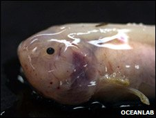 Bbc news meet the creatures that live beyond the abyss snail fish oceanlab sciox Gallery
