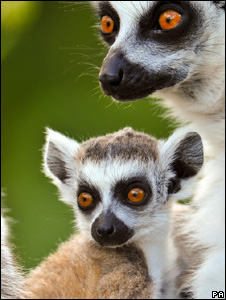 Ring-tailed lemurs (Image: PA)
