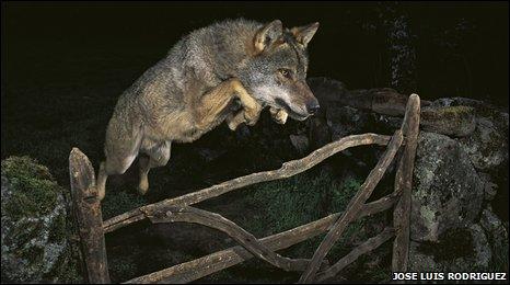 Storybook wolf (Jose Luis Rodriguez)