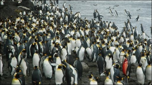 King penguin injured by an Antarctic fur seal