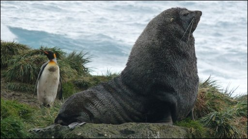 King penguin and Antarctic fur seal