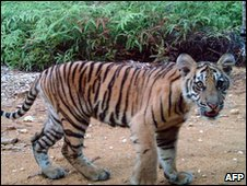 A young Sumatran tiger photographed by a camera trap in Rimbang Baling - Bukit Tigapuluh, in Indonesia's Riau province on 24 July 2009 - WWF handout photo