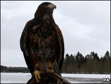 Generic Harris Hawk