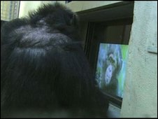 A captive chimpanzee watching a video of a wild chimp