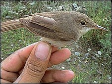 "The breeding area of the large-billed reed warbler, one of the world""s rarest birds, has been discovered in the remote and rugged Pamir Mountains in war-torn Afghanistan, a New York-based conservation group announced"