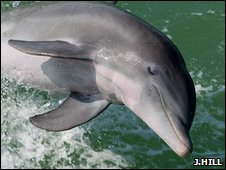 Bottlenose dolphin (Jim Hill)
