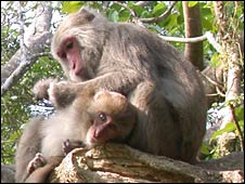 Formosan macaques