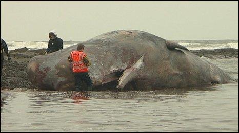 Beadnell sperm whale
