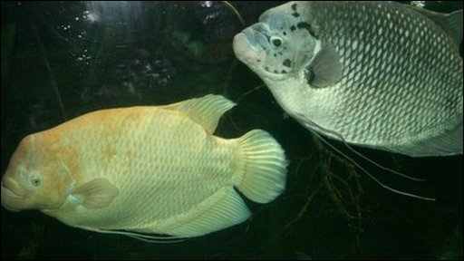 Bbc Bristol Zoo S Ugly Fish Gladys Gets New Tank Mate