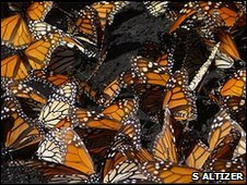 Monarch butterflies cluster on the ground in Mexico