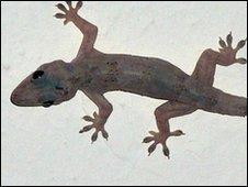 Gecko (file image)