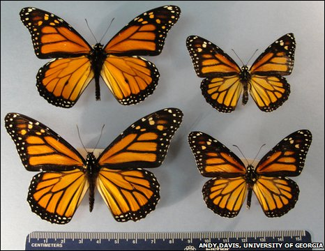 Larger migratory monarch butterflies dwarf smaller resident monarchs from Puerto Rico