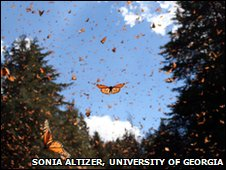 Monarchs take flight near a wintering colony in Mexico