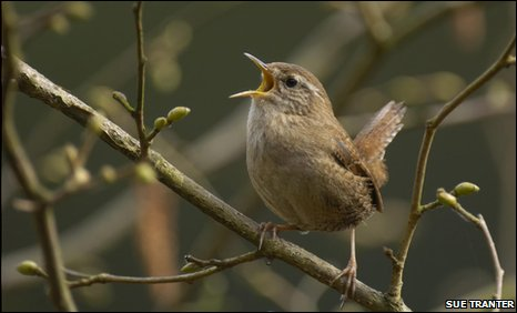 Wren photographed by Sue Tranter