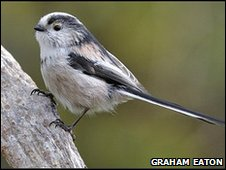 Long-tailed tit photographed by Graham Eaton