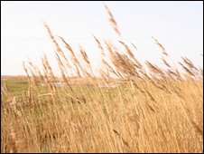 Reeds in RSPB Dungeness reserve