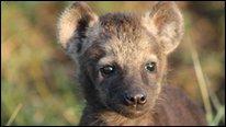 Hyena cub (Kate Shaw)