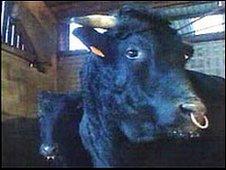 Wagyu cattle (generic)