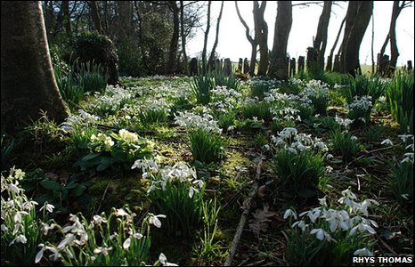 Snowdrops on Anglesey