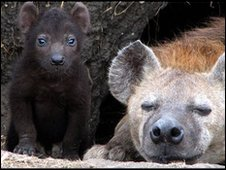 Hyena mother with cub (Kate Shaw)