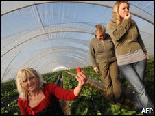 Polish girls picking in a strawberry plant