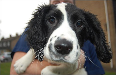 One of the new springer spaniel police dog recruits