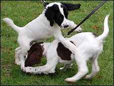 Police puppies playing